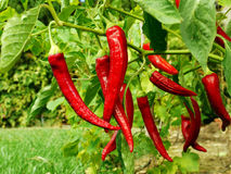 Red pepper growing in my garden. Red pepper on green background growing in my garden Royalty Free Stock Photos