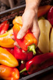 Red pepper in hand Royalty Free Stock Images