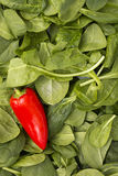 Red pepper on leaves of spinach Royalty Free Stock Image
