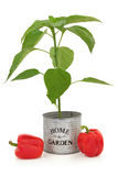 Red Pepper Plant Stock Photos