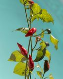 Red pepper on plant Royalty Free Stock Photo