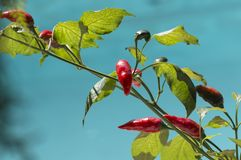 Red pepper on plant Stock Photos