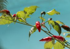 Red pepper on plant Royalty Free Stock Images