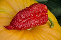 Red pepper on the pumpkin Royalty Free Stock Photos