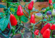 Red pepper ripening on the branches in the city botanical garden royalty free stock photography