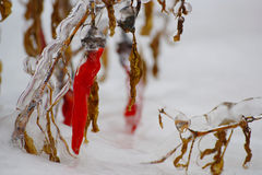 Red Pepper In Snow And Ice Royalty Free Stock Photography