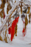 Red Pepper In Snow And Ice Royalty Free Stock Photos