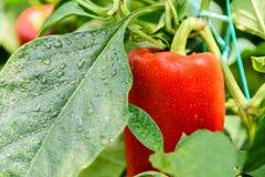 Red Pepper In Vegetable Garden Stock Photography