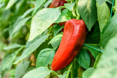 Red Pepper In Vegetable Garden Royalty Free Stock Photography