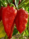Red peppers Royalty Free Stock Photo