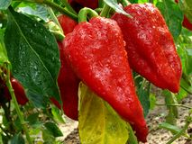 Red peppers Royalty Free Stock Photos