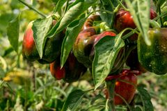 Red peppers growing on a bush. Red peppers on a bush from above Stock Photo