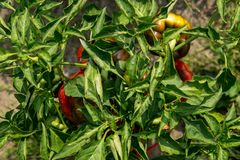 Red peppers growing on a bush. Red peppers on a bush from above Royalty Free Stock Images