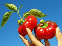 Red peppers in hand Stock Images