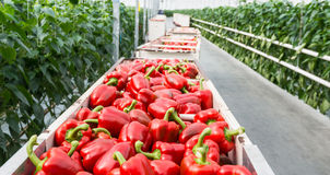 Red peppers in harvesting trolleys Royalty Free Stock Photography