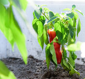 Red peppers plant Royalty Free Stock Photography