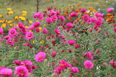 Red perennial aster Royalty Free Stock Image