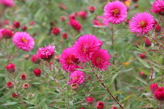 Red perennial aster Stock Photography