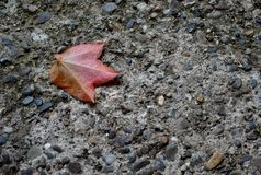 Red perfect autumn leaf on the ground. Red perfect autumn leaf fallen on the grey stone ground royalty free stock images