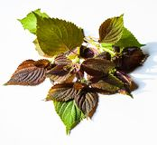 Red perilla mint isolated on white background.  Stock Photos
