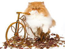 Red Persian on brown mini bicycle Royalty Free Stock Images