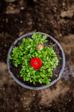 Red Persian Buttercup Stock Images