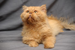 Red Persian cat Royalty Free Stock Photos