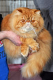 Red persian cat Stock Photography