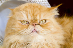 Red persian cat with hat Stock Photography