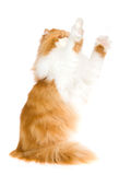 Red Persian cat waving paws in air Royalty Free Stock Photo