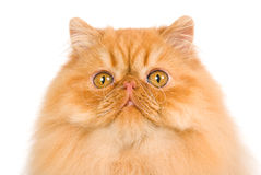 Red Persian cat on white background Royalty Free Stock Photo