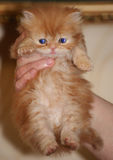 Red Persian cat in woman's hand. Red Persian nice cat in woman's hand Stock Image