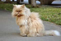 Red Persian fluffy angry cat. Stock Images