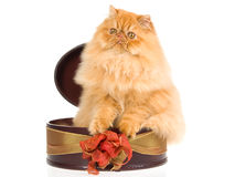 Red Persian in gift box, on white background Stock Photos