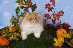 Red Persian kitten playing on the grass Stock Photo