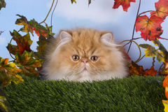 Red Persian kitten playing on the grass Stock Images