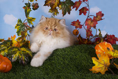 Red Persian kitten playing on the grass Stock Photography