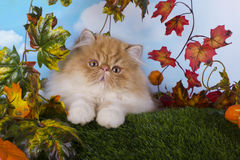 Red Persian kitten playing on the grass beautiful autumn day Royalty Free Stock Photo