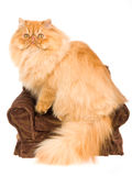 Red Persian on mini chair, on white background Royalty Free Stock Photos