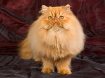 Red Persian sitting on burgundy background Royalty Free Stock Photos