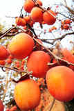 Red Persimmon in the tree Stock Photos