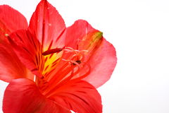 Red Peruvian Lily. On white background in a wine glass Stock Photo