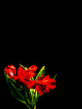 Red Peruvian Lily on Black Background Stock Images