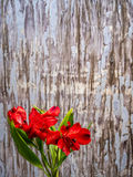 Red Peruvian Lily on blue-grey peeling paint Background Royalty Free Stock Photo