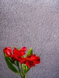 Red Peruvian Lily on grey concrete background Royalty Free Stock Images