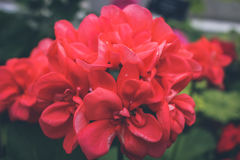 Red Petal Flower in Closeup Photography Royalty Free Stock Photo