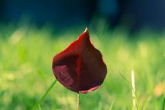 Red Petal Flower Selective Focus Photography Royalty Free Stock Photography