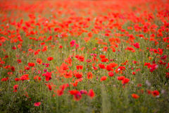 Red petal poppies in a field in the summertime Stock Image