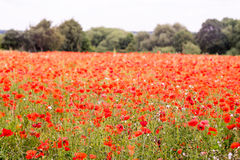 Red petal poppies in a field in the summertime Royalty Free Stock Photo
