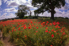 Red petal poppies in a field in the summertime Royalty Free Stock Images